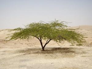 காட்டு கருவேல மரம்(acacia-tree)